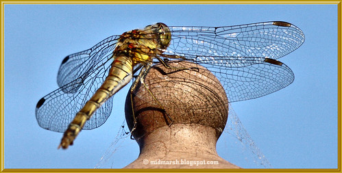 Common Darter Female 2.jpg