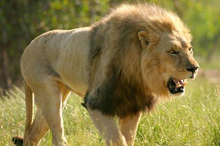 Captive-Male-Lion-L