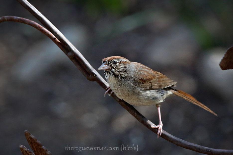 090212_04_bird_pass_rufusCrownedSparrow2