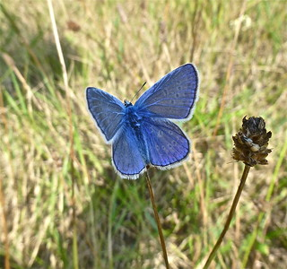 Icarusblauwtje . . . . . Common Blue