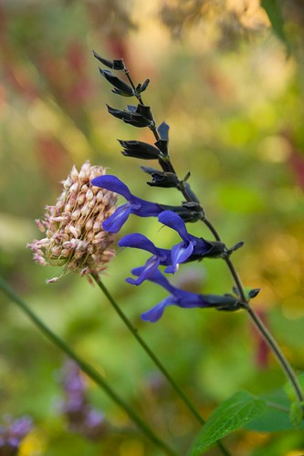 salvia black & blue  2172