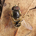 Eristalis hirta - Photo (c) K Schneider, some rights reserved (CC BY-NC)