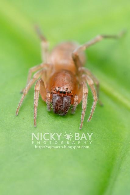 Sac Spider (Clubionidae) - DSC_4053