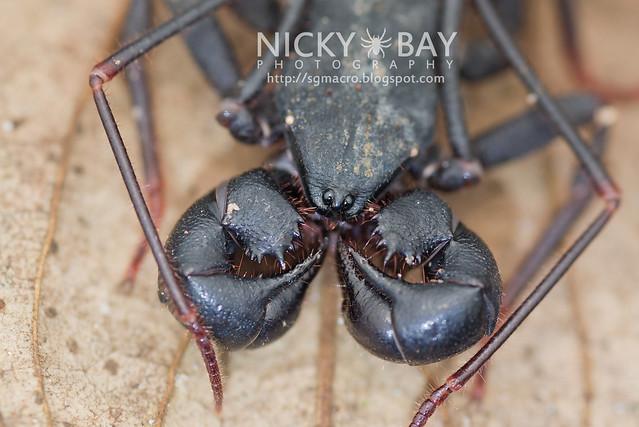 Whip Scorpion (Thelyphonida) - DSC_4141