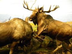 bull(0.0), cattle-like mammal(1.0), deer(1.0), moose(1.0), fauna(1.0), elk(1.0), wildlife(1.0),