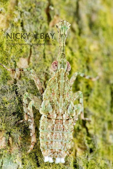 Fulgorid Planthopper (Fulgoridae) - DSC_1438