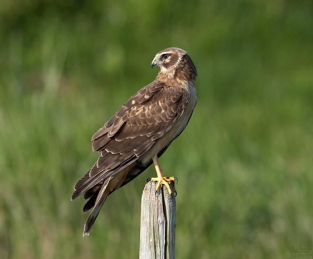 Northern harrier, female | Flickr - Photo Sharing!