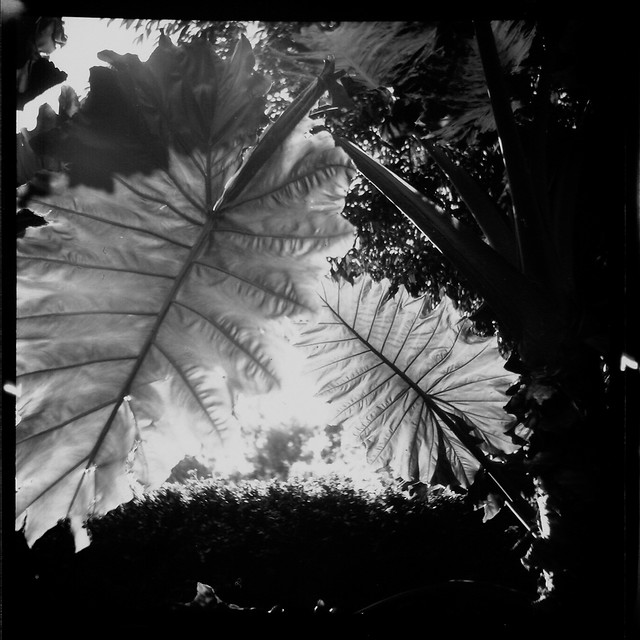 Alocasia brisbanensis, UQ, Brisbane