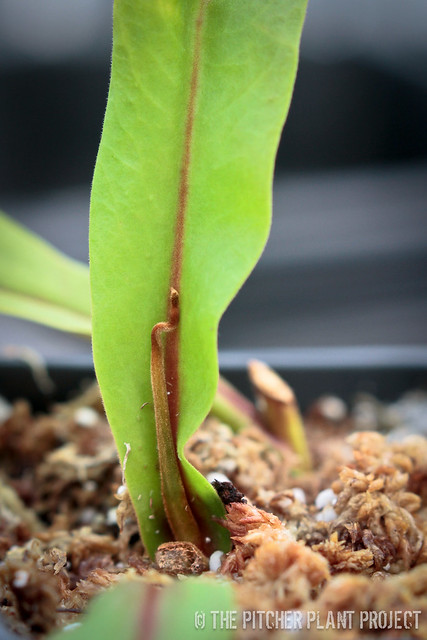 Nepenthes fusca hybrid cutting