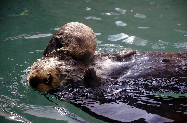 Happy Otter Couple Seattle Aquarium Flickr Photo