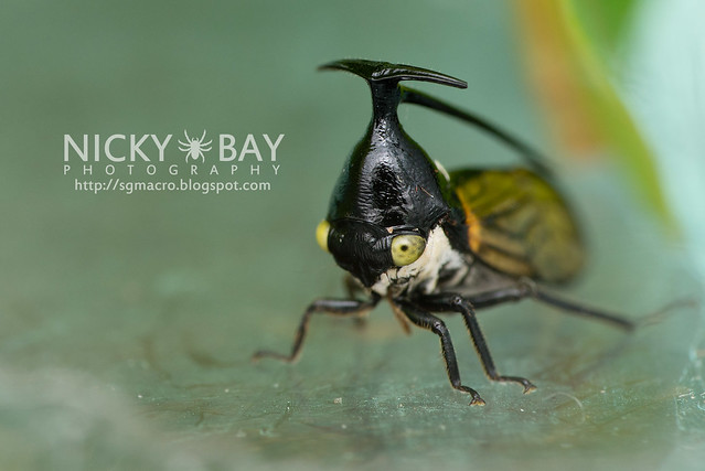 Treehopper (Membracidae) - DSC_6293