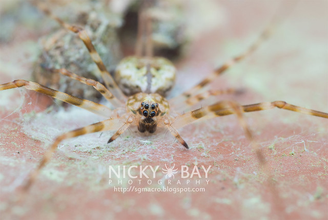 Two-Tailed Spider (Hersiliidae) - DSC_5757