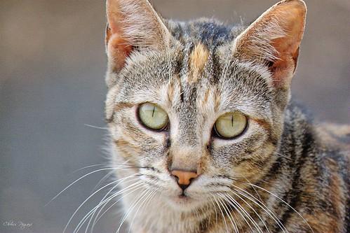 Torbie Feral Cat