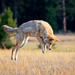 Coyote-on-the-Hunt--Pouncing-for-Prey-at-Yellowstone-National-Park