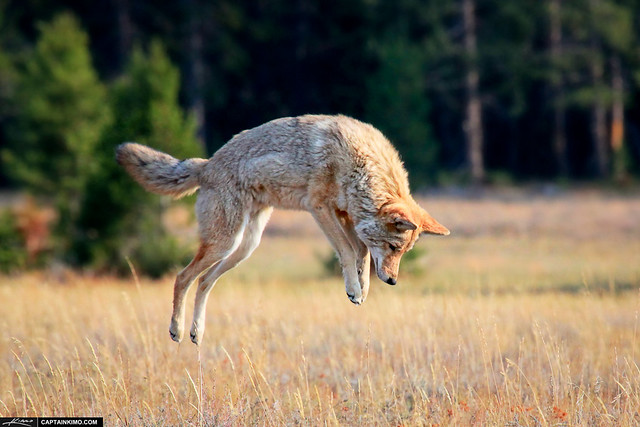 coyote on the hunt pouncing for prey at yellowstone national park flickr photo sharing. Black Bedroom Furniture Sets. Home Design Ideas