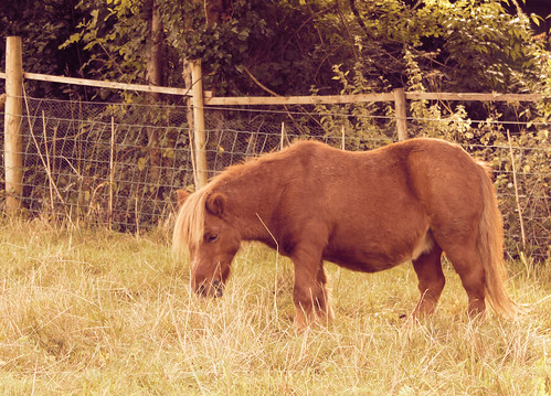 Shetland pony toned with gradient map by Helen in Wales