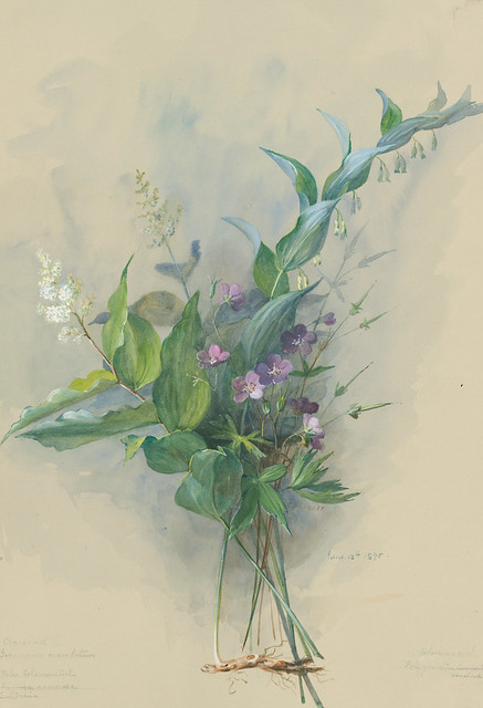 Eloise Payne Luquer, Spotted Geranium, Geranium maculatum, Smooth Solomon's Seal, Polygonatum biflorum, and Feathery False Lily-of-the-Valley, Maianthemum racemosum, 1895. Watercolor and gouache on paper.