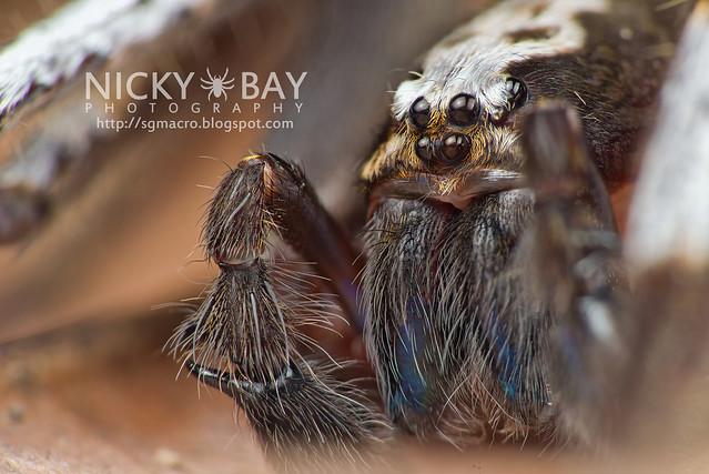 Wandering Spider (Ctenidae) - DSC_6469