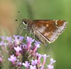 Clouded Skipper,  Lerema accius