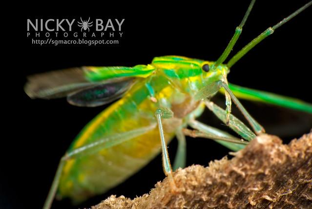 Mirid Bug (Miridae) - DSC_5711