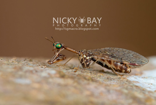 Mantidfly (Mantispidae) - DSC_4193