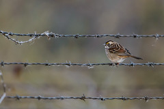 White-throated Sparrow on Barbed Wire_42119.jpg by Mully410 * Images