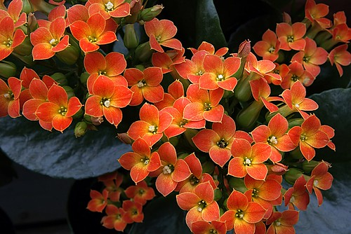 Calceolaria.