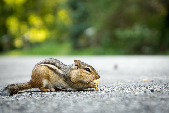 Ground Squirrel, Chipmunk