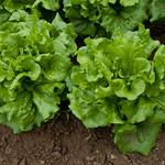 Lettuce 'Concept'