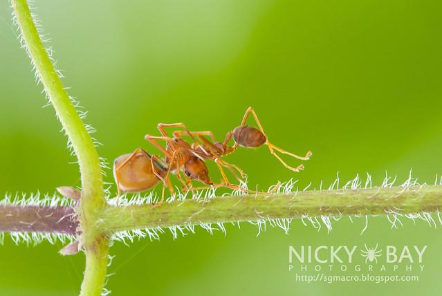 Ant-mimic Crab Spider (Amyciaea lineatipes) - DSC_2552