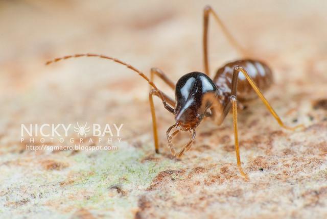 Nasute Termite? (Termitoidae) - DSC_1998