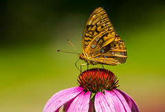 Sipping From A Coneflower