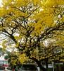 Ipê amarelo :deciduous_tree: