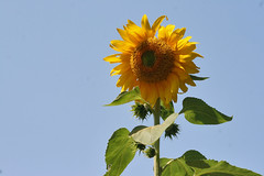 sunflower 072