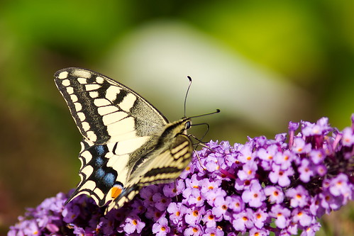 Machaon_DSC9096 (1)