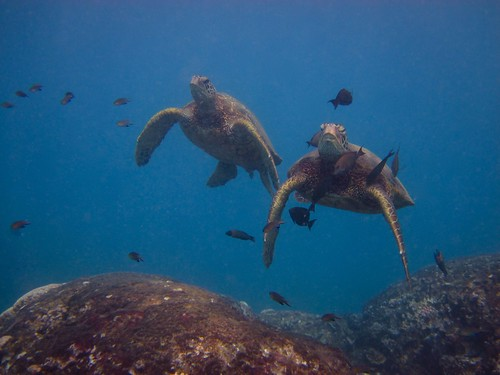 Sea Turtles at a Cleaning Station