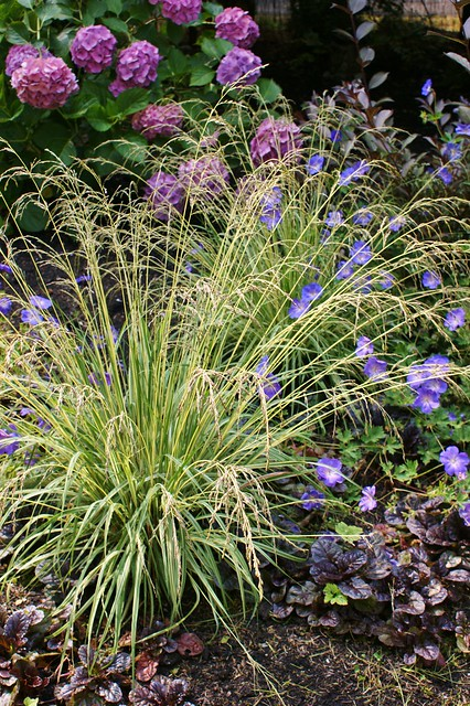 Wispy variegated grass like perennial with gernaium for Variegated grass with purple flower