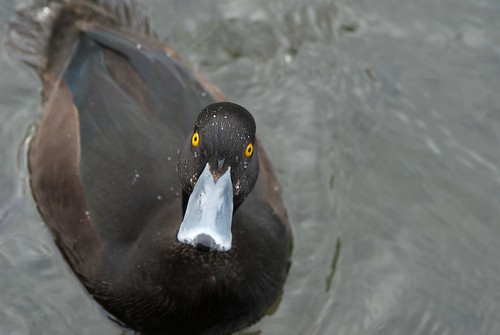 A scaup on the Avon River, Christchurch