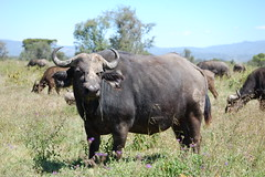 adventure(0.0), bull(0.0), rhinoceros(0.0), bison(0.0), cattle-like mammal(1.0), animal(1.0), water buffalo(1.0), working animal(1.0), mammal(1.0), horn(1.0), grazing(1.0), fauna(1.0), cattle(1.0), pasture(1.0), grassland(1.0), safari(1.0), wildlife(1.0),