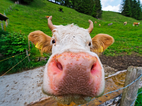無料写真素材, 動物 , 哺乳類, 牛・ウシ