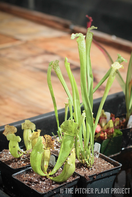 "Sarracenia ""Green Prince"" and ""Green Dragon"""