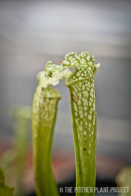"Sarracenia ""Green Prince"""