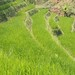 Small photo of Rice Field