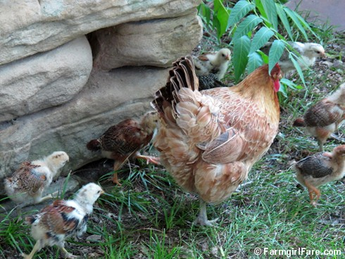 Lokey and her ten chicks (6) - FarmgirlFare.com