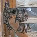 Roosting Greater Horshoe Bats (Roy Taylor)