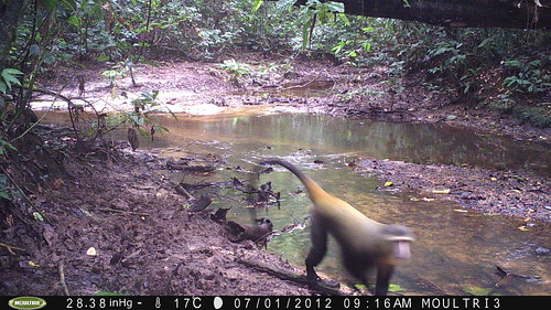 Camera trap captures Lesula
