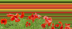 Poppy field overload. By Thomas Tolkien