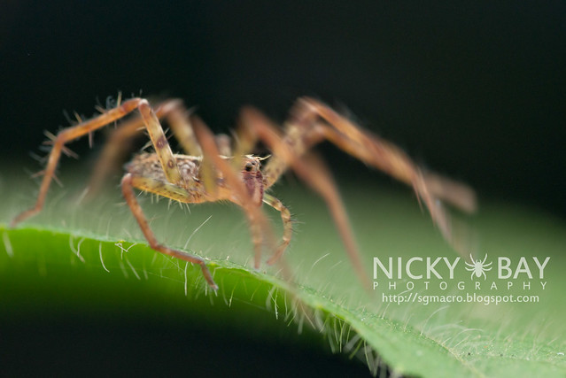 Nursery Web Spider (Pisauridae) - DSC_5156