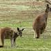 Western Grey Kangaroos (Peter Taylor)