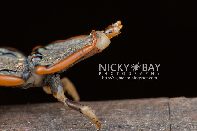 Trilobite Beetle (Platerodrilus sp.) - DSC_1965